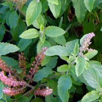 TULSI – Herb widely used in Ayurveda